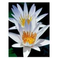 """Brian Davis Signed """"Water Lily Duet"""" Limited Edition 30x40 Giclee on Canvas at PristineAuction.com"""